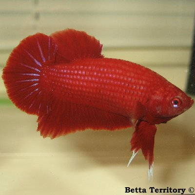 Betta Territory: Something in red............. BT100208A-RedHMPKM20wka
