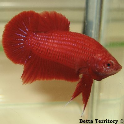 Betta Territory: Something in red............. BT100208A-RedHMPKM20wkc