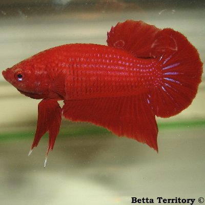 Betta Territory: Something in red............. BT100208A-RedHMPKM20wkd