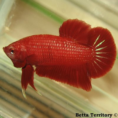 Betta Territory: Something in red............. BT100208A-RedHMPKM20wkf