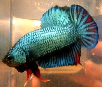 Blue dragon scale betta