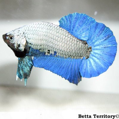 Dragon Betta Fish | Aab Dragons