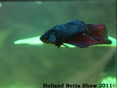 Basically another betta caresheet tropical fish forums for Betta fish sleeping